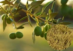 Olive Leaf Extract - MS8990006
